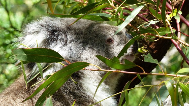 A cute koala on Phillip Island on my Tour with Go West (sponsored review)