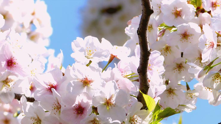 The Top 10 Cherry Blossom Spots in Tokyo You Can't Miss