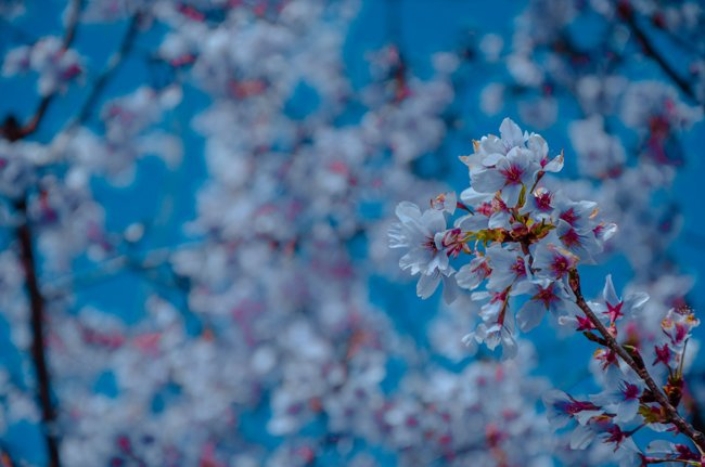 white cherry blossoms with a blue background
