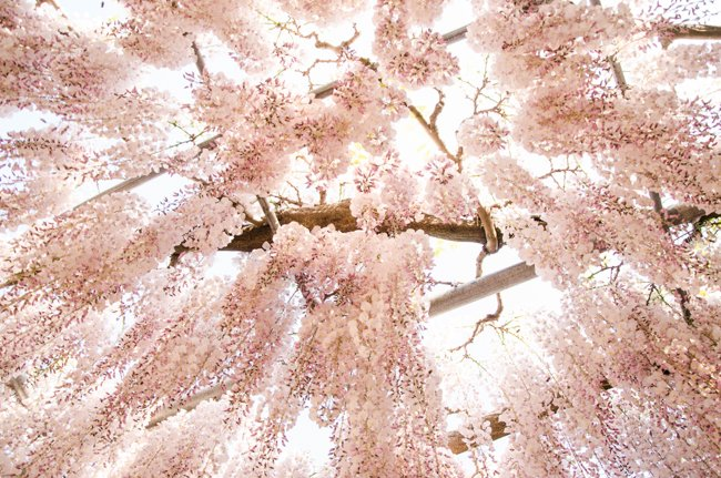 10 Japan Spring Flowers Worth Travelling Japan for - wisteria