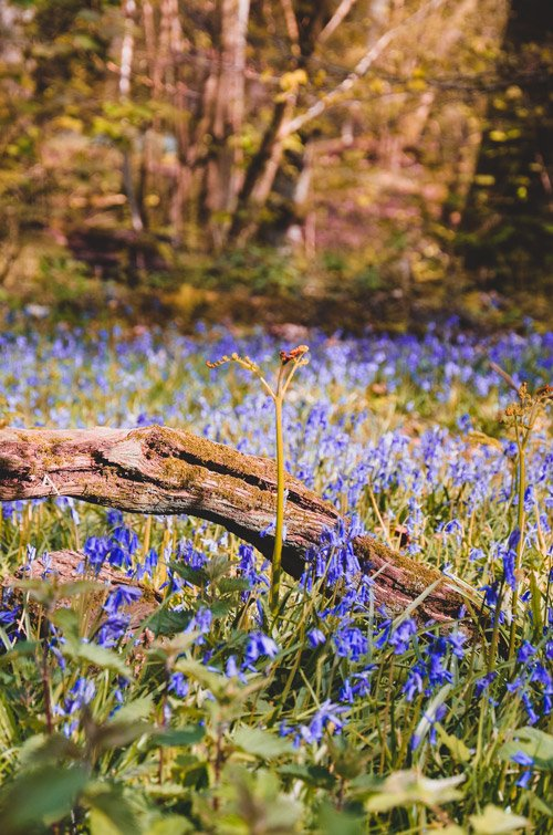 Forest of bluebells UK
