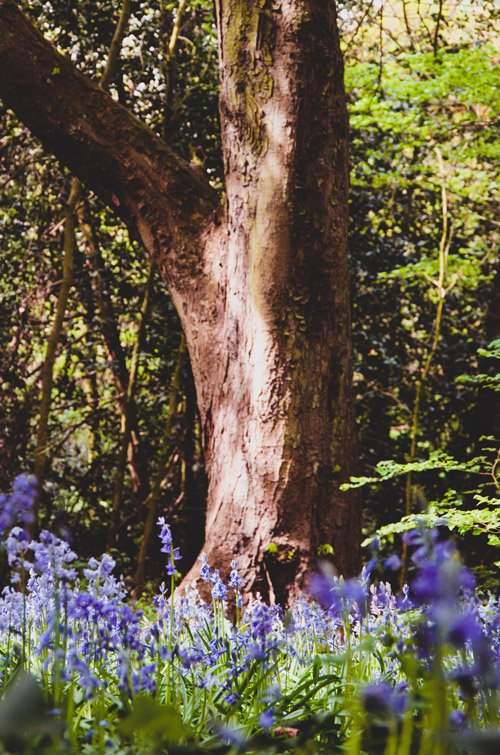 Bluebells underneat han old oak tree