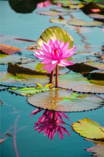 lotus flowers in full bloom with dark geen leaves on a lake near Udon Thani
