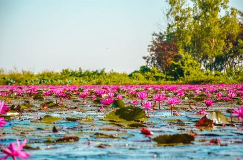 vibrant flowers on the famous Red Lotus Lake in Udon Thani
