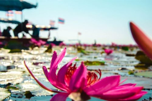 giant red lotus flower with boat in the distance on Red Lotus Lake in Udon Thani