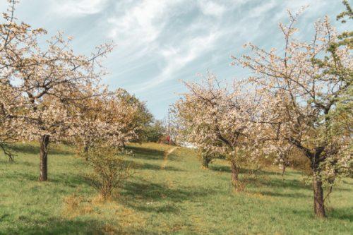 Cherry trees near North Jena Germany