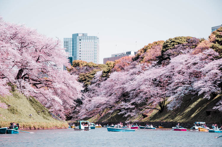 pink cherry trees bending over Chidorigafuchi in Tokyo, Japan