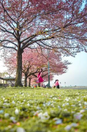 pink cherry trees near the river in Shibamata, Tokyo
