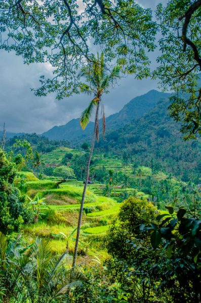 Classic Bali rice field terraces with tropical forests in the background near Sekumpul Waterfall