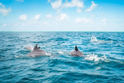 pod of dolphins fins above water