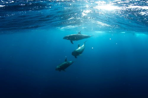 dolphins beneath the ocean waves