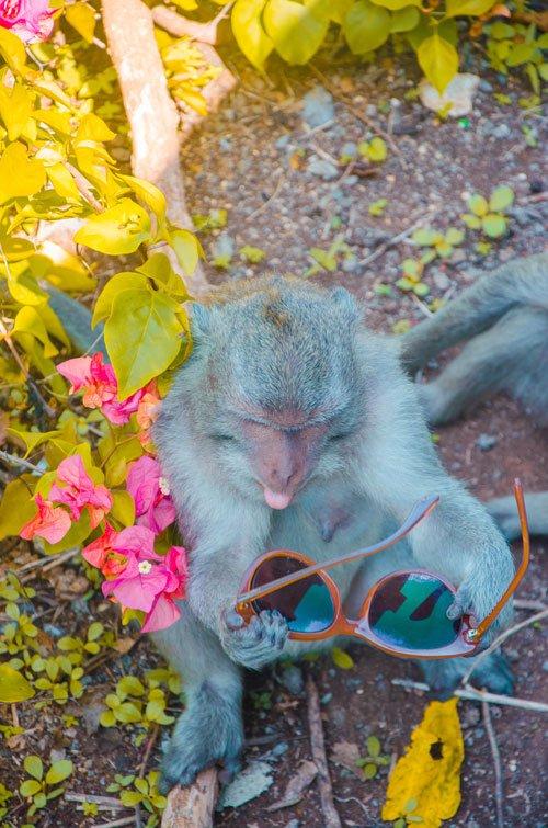 Grey monkey at Uluwatu temple