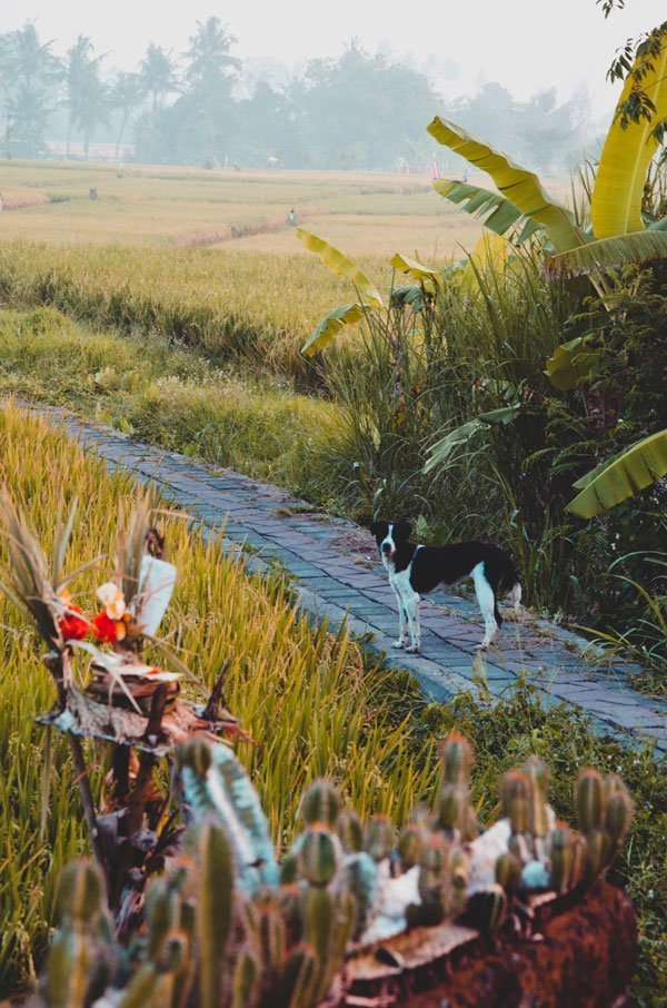 Dog in Bali rice fields