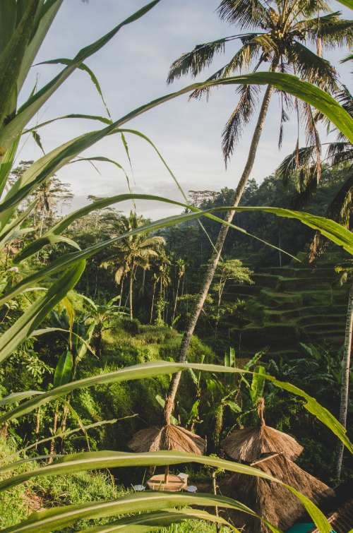 Tegalalang Rice Terraces at sunrise