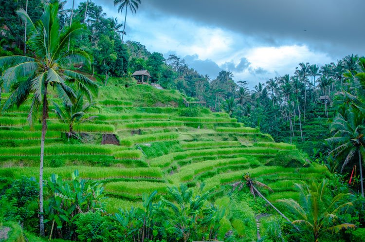 Tegalalang Rice Terraces at sunset