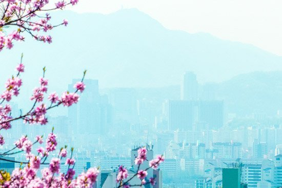Seoul South Korea spring cherry blossoms