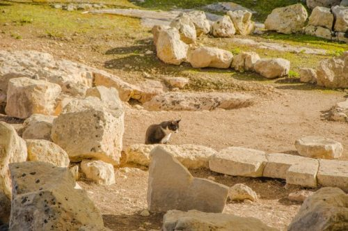 Cat among rubbles of Tarxien Temples