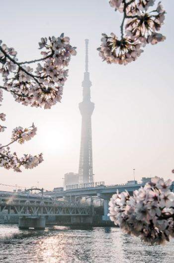 Sumida Park with Skytree and cherry blossoms in Tokyo