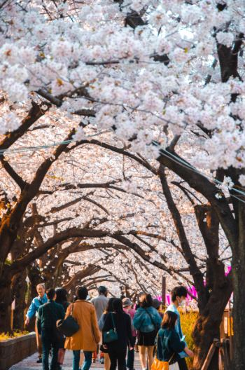 Top 15 Best Places to See Cherry Blossoms in Tokyo + Free Guide