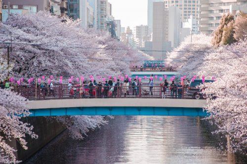 Meguro River in Tokyo in full bloom