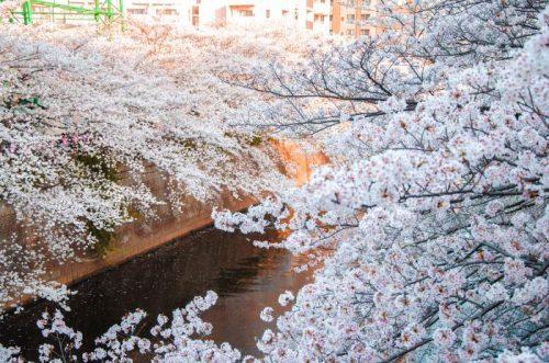 Tokyo Cherry blossoms at Meguro River