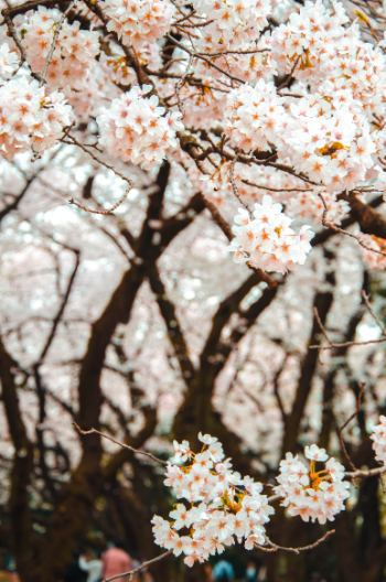 White cherry blossom trees in Tokyo