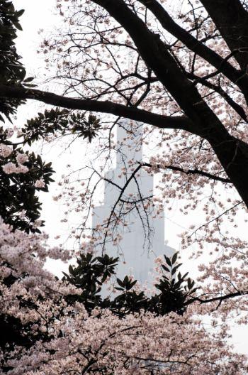 Tokyo Cherry blossoms at Shinjuku Gyoen Park