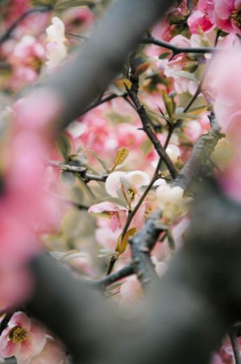 Pink spring flowers in Tokyo