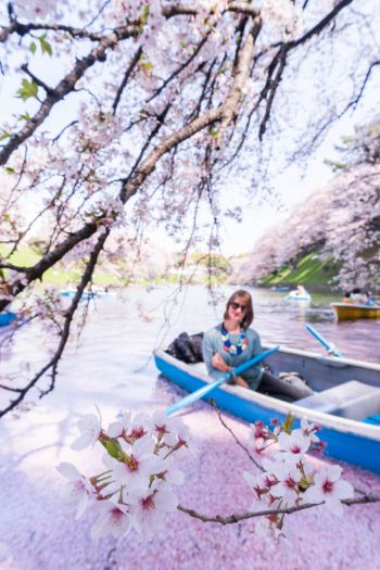 Chidorigafuchi Park in full bloom with pink cherry trees in Tokyo