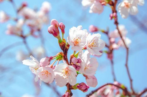 Pink cherry blossoms in Tokyo against a blue sky