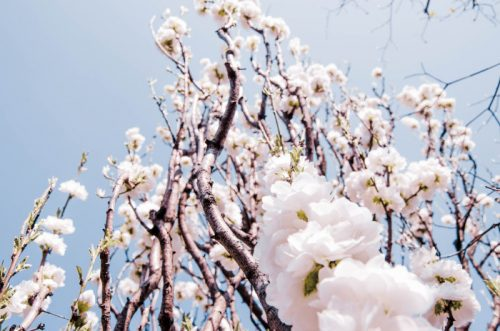 White cherry blossoms in Tokyo against a blue sky