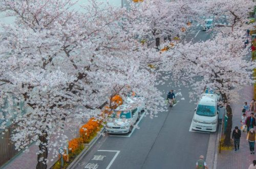 Alleys of cherry blossoms in Ueno Tokyo