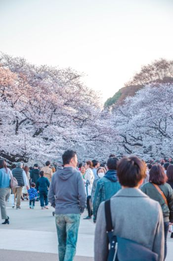 Ueno Park cherry bloom in Tokyo with crowds