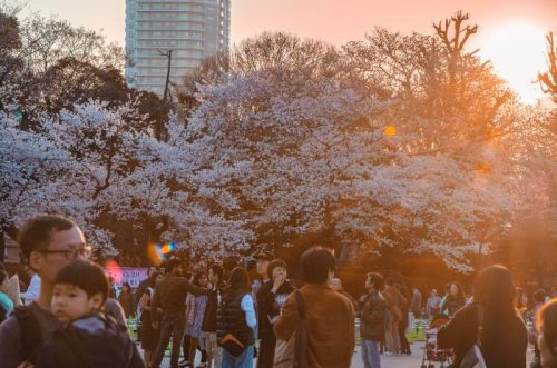 Ueno Park cherry bloom in Tokyo with crowds at sunset