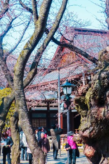 Yasukuni Shrine with cherry blossoms, Tokyo
