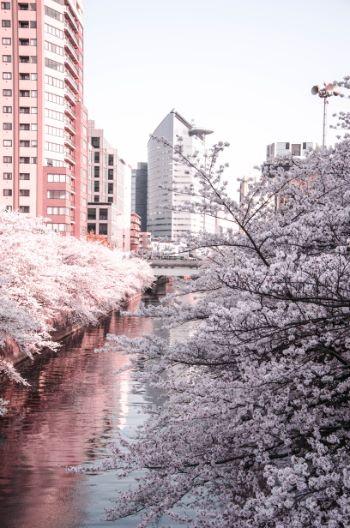 Meguro River during sakura time in Tokyo, Japan