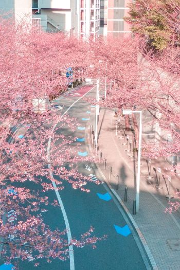 cherry blossom alley in Roppongi Hills, Tokyo