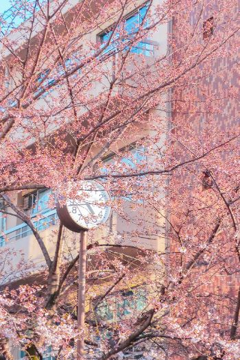 Roppongi Hills cherry blossom season with clock