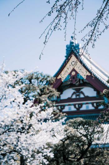 Asakusa temple cherry blossom in Tokyo, Japan