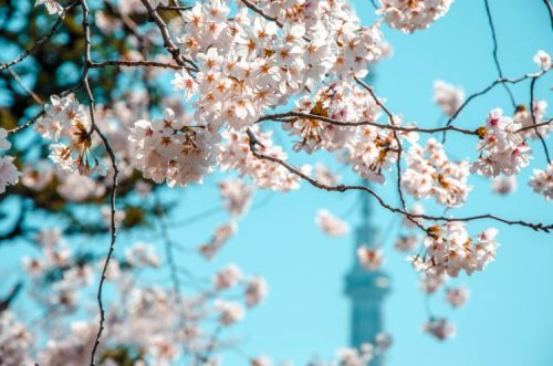 white cherry blossoms in front of Skytree in Tokyo