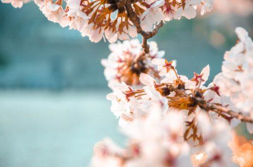pink cherry blossoms on a sakura tree on Tokyo