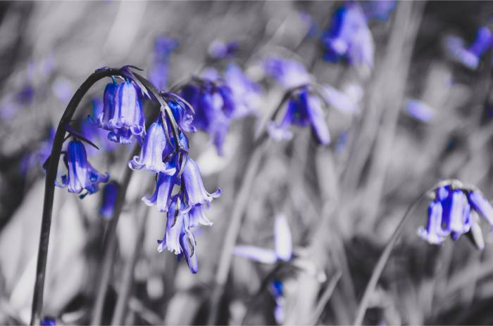 purple British bluebells with only purple colour filtered out