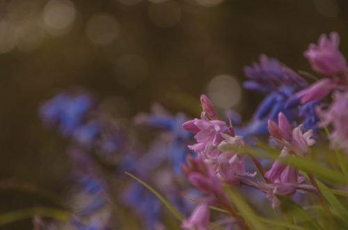 bluebells in Dartmoor National Park