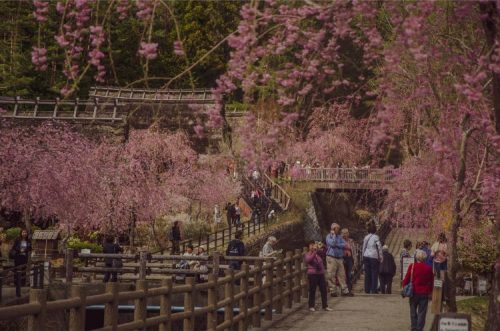 saiko iyashino-sato nenba in the front with pink cherry blossoms framing the shot