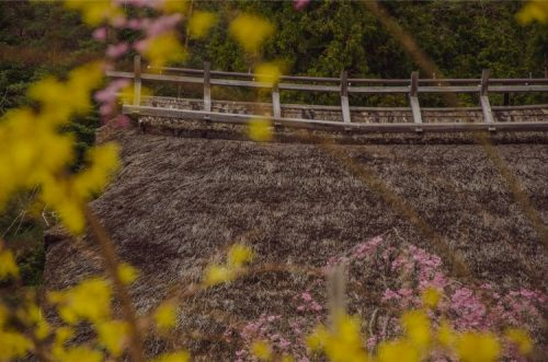 yellow and pink blossoms in front of thatched roof of iyashi no sato