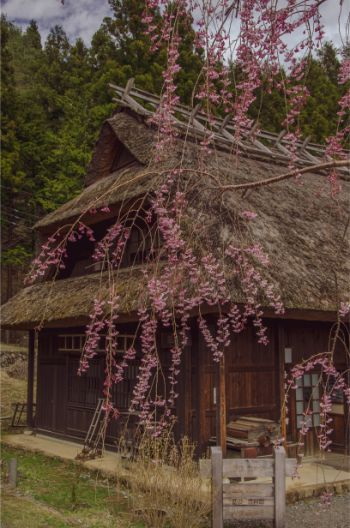 pink weeping cherry blossoms in front of thatched roof of iyashi no sato