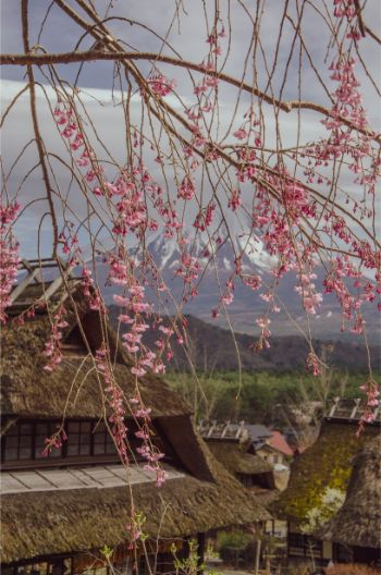 pink cherry blossoms in front of iyashi no sato