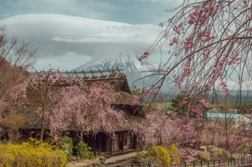 Fuji in the background, saiko iyashino-sato nenba in the front with pink and yellow spring blossoms framing the shot