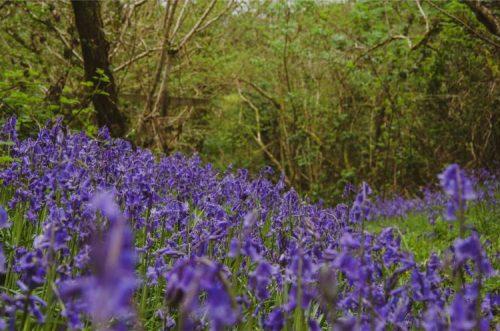 Bluebells covering the floor of Wembury Wood, Devon