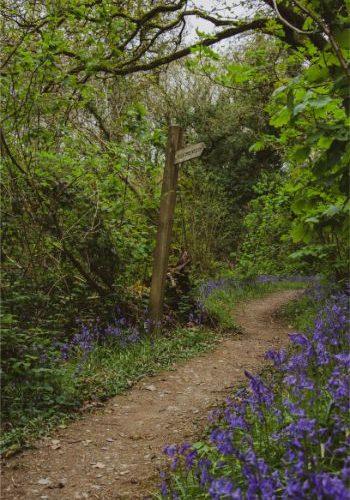Wembury Woods walk lined by bluebells, Devon, UK